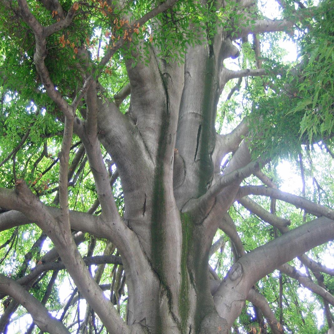 Eine sehr alte Platane, mit einer breiten Baumkrone.
