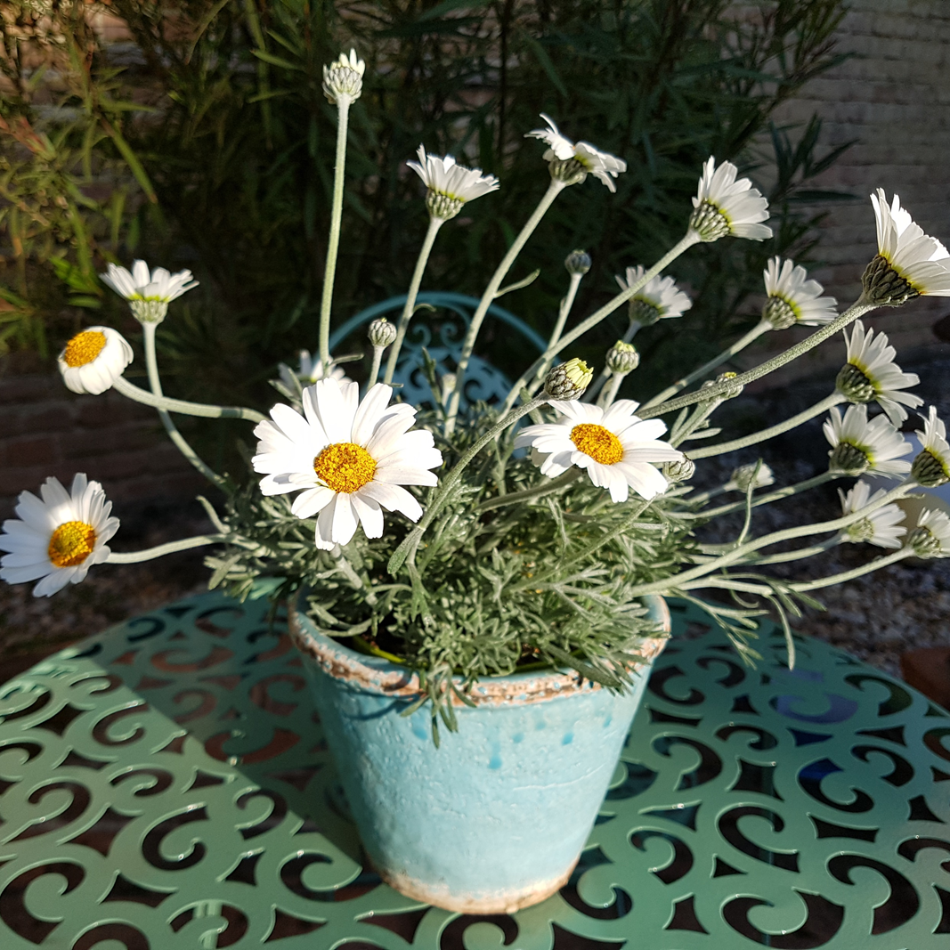 Ein Töpfchen Margeriten steht auf einem Tisch in der Sonne.