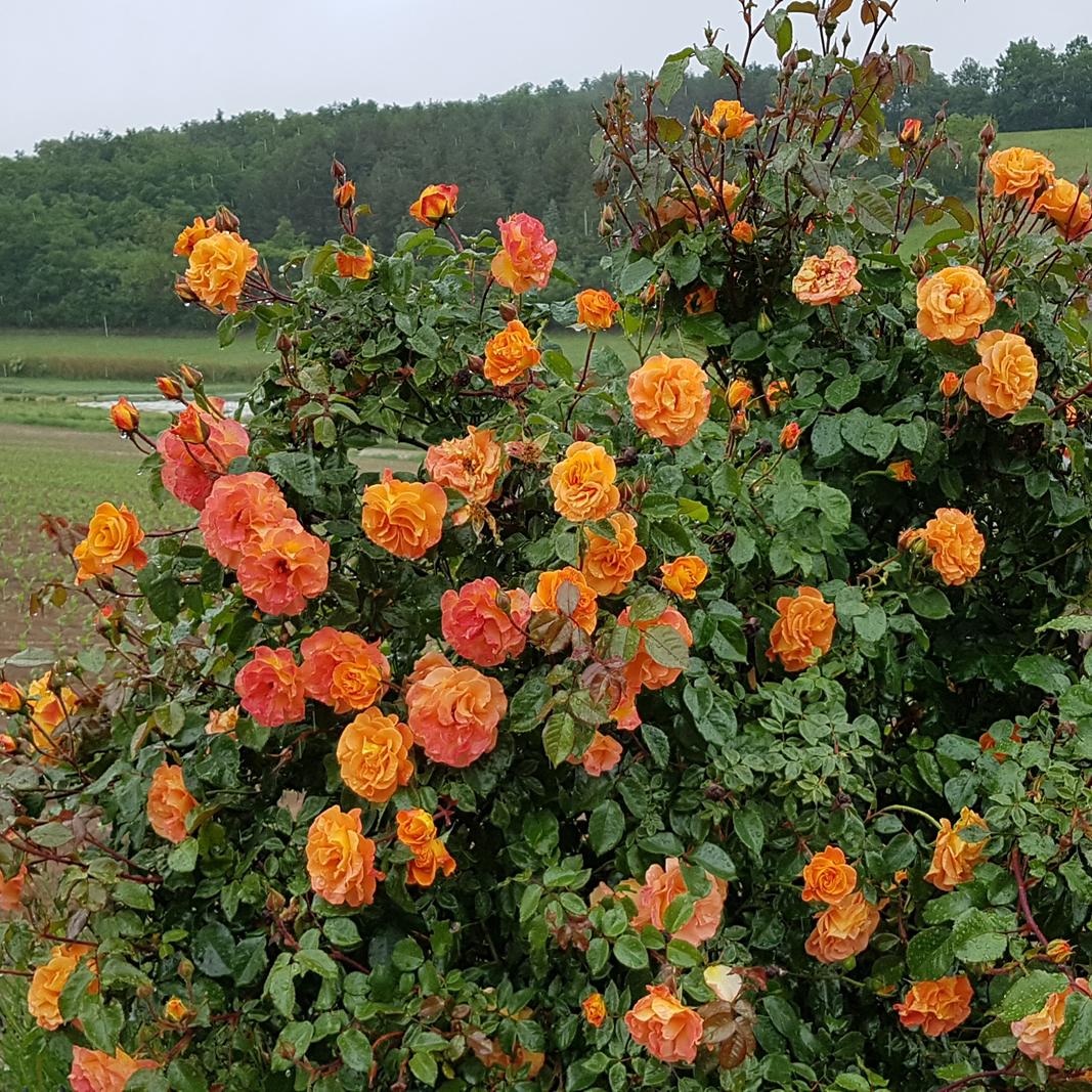 Buschrosen in verschiedenen orangetönen