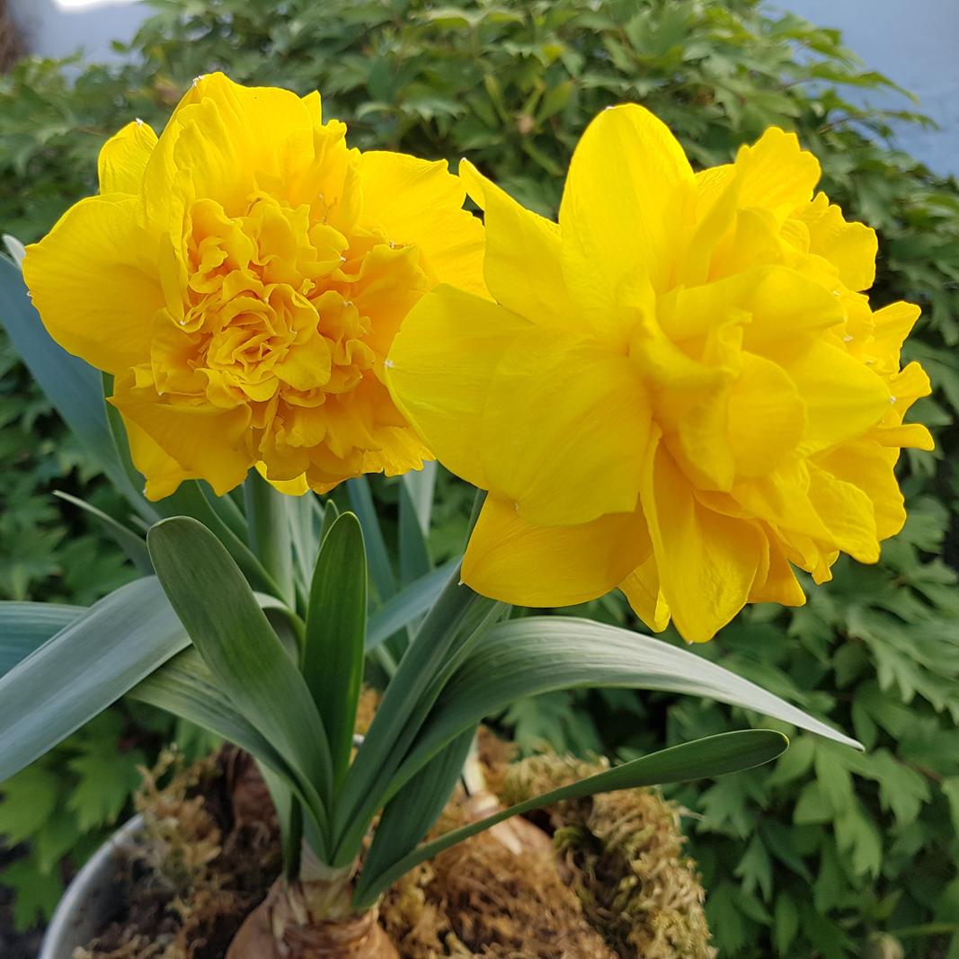 Gelb leuchtende Glockenblume mit Blumenzwiebel