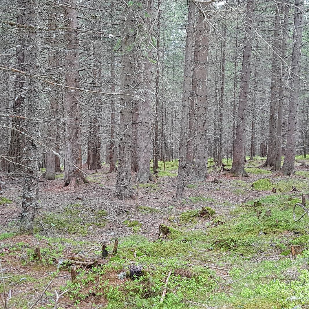 Viele Nadelbaumstaemme im Wald.